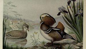 Hermosa ilustración del Pato Mandarín (Aix galericulata)