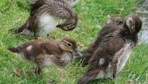 Ejemplar juvenil del pato mandarín