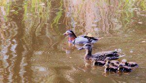 Familia de Patos Mandarín (Aix galericulata)