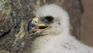 Pequeña Águila Real (Aquila chrysaetos)