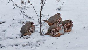 Grupo de Perdiz Rojas (Alectoris rufa) en la nieve