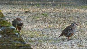 Dos Perdiz Rojas (Alectoris rufa) en la naturaleza
