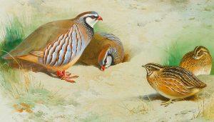 Familia de la especie Perdiz Roja (Alectoris rufa) en dibujo