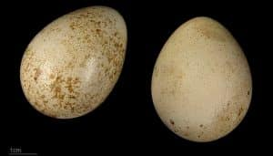 Dos huevos de la Perdiz Roja (Alectoris rufa)