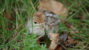 La pequeña cría de la Perdiz Roja (Alectoris rufa)