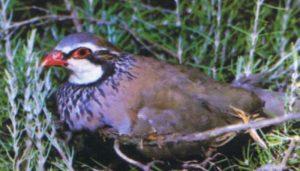 Perdiz Roja (Alectoris rufa) en su nido