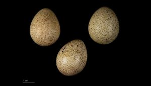 Tres huevos de una Perdiz Roja (Alectoris rufa)