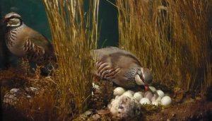 Una madre Alectoris rufa y sus polluelos