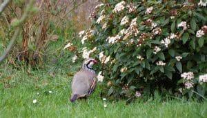 Una Perdiz Roja (Alectoris rufa) caminando en la naturaleza