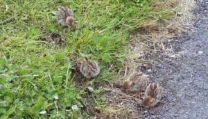 Las pequeñas crías de la Perdiz Roja (Alectoris rufa)
