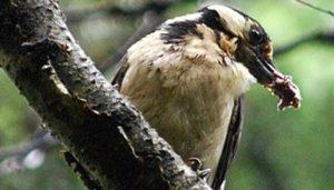 Pico Picapinos (Dendrocopos maior) alimentándose