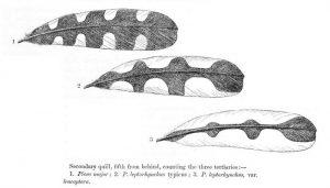 Bellas plumas del Pico Picapinos (Dendrocopos maior)