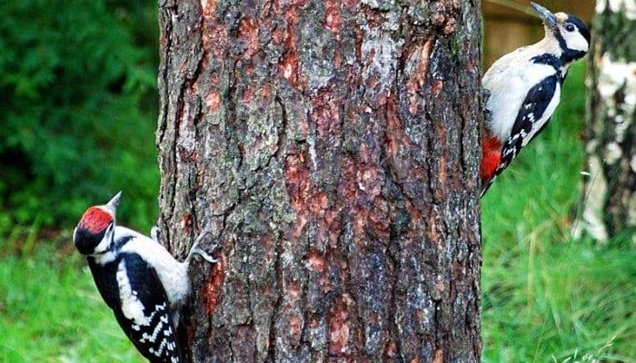 El pico picapinos (Dendrocopos major) es un pájaro carpintero de tamaño mediano con plumaje blanco y negro y una mancha roja en la parte inferior del vientre.