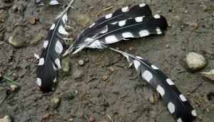 Las plumas de un Pico Picapinos (Dendrocopos maior)