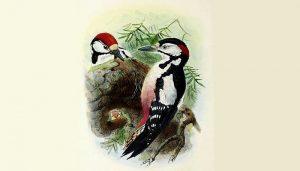 Dos Picos Picapinos (Dendrocopos maior) en dibujo