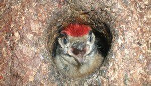 El polluelo del Pico Picapinos (Dendrocopos maior) en su nido