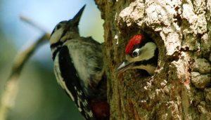 Pareja de Picos Picapinos (Dendrocopos maior) en el nido
