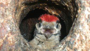 Una cría del Pico Picapinos (Dendrocopos maior) en el nido