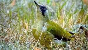 El Picus viridis en el suelo