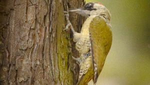 Un Pito Real (Picus viridis) en un árbol