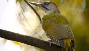 Pito Real (Picus viridis) sobre una rama