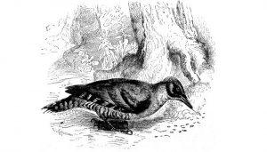 Dibujo de un Pito Real (Picus viridis)