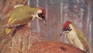 Ilustración de dos Pitos Reales (Picus viridis)