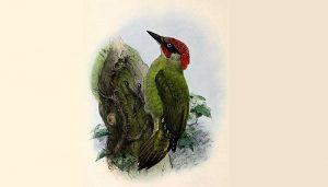 Pito Real (Picus viridis) en dibujo
