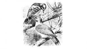 El gran Pito Real (Picus viridis) en dibujo