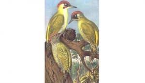 Dos Pitos Reales (Picus viridis) en dibujo