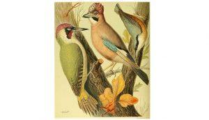 Dibujo del Pito Real (Picus viridis) y otras especies