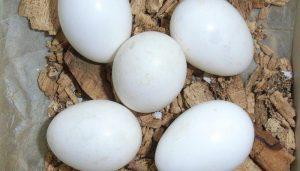 Huevos del Pito Real (Picus viridis)