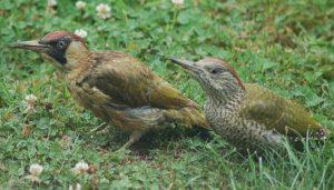 Ejemplar juvenil de la especie Pito Real (Picus viridis)