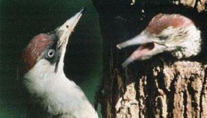 Cría del Pito Real (Picus viridis)
