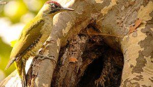 Bello ejemplar Pito Real (Picus viridis) en un árbol