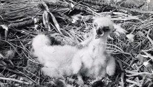 Polluelos de Águila Real (Aquila chrysaetos)