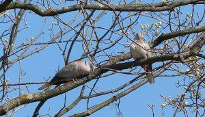 Dos Tórtolas Turca (Streptopelia decaocto) entre las ramas