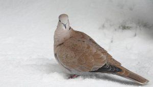 Tórtola Turca (Streptopelia decaocto) en la nieve