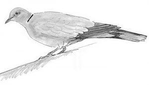 Excelente dibujo de la Tórtola Turca (Streptopelia decaocto)