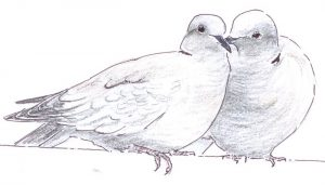 Pareja de Tórtolas Turca (Streptopelia decaocto) dibujada