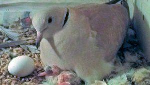Huevo y cría de la Tórtola Turca (Streptopelia decaocto)