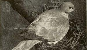 El nido de la Tórtola Turca (Streptopelia decaocto)