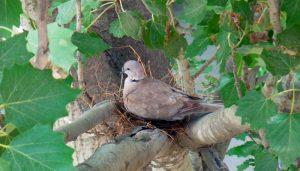 Tórtola Turca (Streptopelia decaocto) en el nido