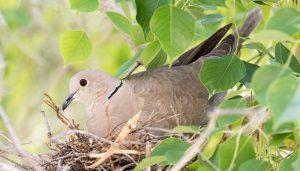 Una Tórtola Turca (Streptopelia decaocto) en su nido