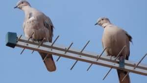 Dos Tórtolas Turca (Streptopelia decaocto) en una antena