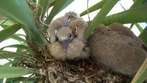 Polluelos de la Tórtola Turca (Streptopelia decaocto)