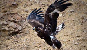 Una madre de Águila Real (Aquila chrysaetos)