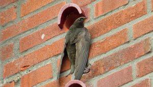 Vencejo Común (Apus apus) en un nido hecho por personas