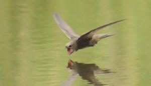 Un Vencejo Común (Apus apus) volando cerca del agua