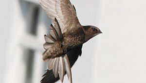 La cola de un Vencejo Común (Apus apus)